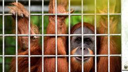 Orangutan bernama Elaine memandang dari dalam kandang saat akan dilepasliarkan di Cagar Alam Hutan Pinus Jantho, Aceh Besar, Selasa (18/6/2019). Dua orangutan yang dilepasliarkan oleh BKSDA Aceh berjenis kelamin betina. (CHAIDEER MAHYUDDIN/AFP)
