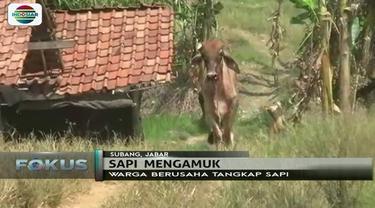 Khawatir masuk ke pemukiman warga, polisi tembak mati sapi yang mengamuk di Subang, Jawa Barat.
