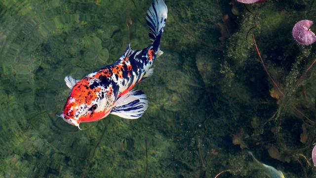 Unduh 80+ Gambar Ikan Koi HD Terbaru