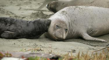 Gajah laut dan anak-anaknya terlihat di Pantai Drakes, California, Jumat (1/2). Pemerintah setempat memutuskan menutup pantai itu hingga para gajah laut memutuskan untuk pergi, meski tak jelas kapan mereka akan meninggalkan tempat itu. (AP/Eric Risberg)