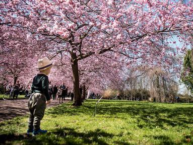 Seorang anak berdiri di bawah bunga sakura yang bermekaran di sepanjang jalan di Pemakaman Bispebjerg, Kopenhagen, Denmark, (20/4). Keindahan bunga sakura yang bermekeran menandai dimulainya musim semi. (Mads Claus Rasmussen / Ritzau Scanpix via AP)