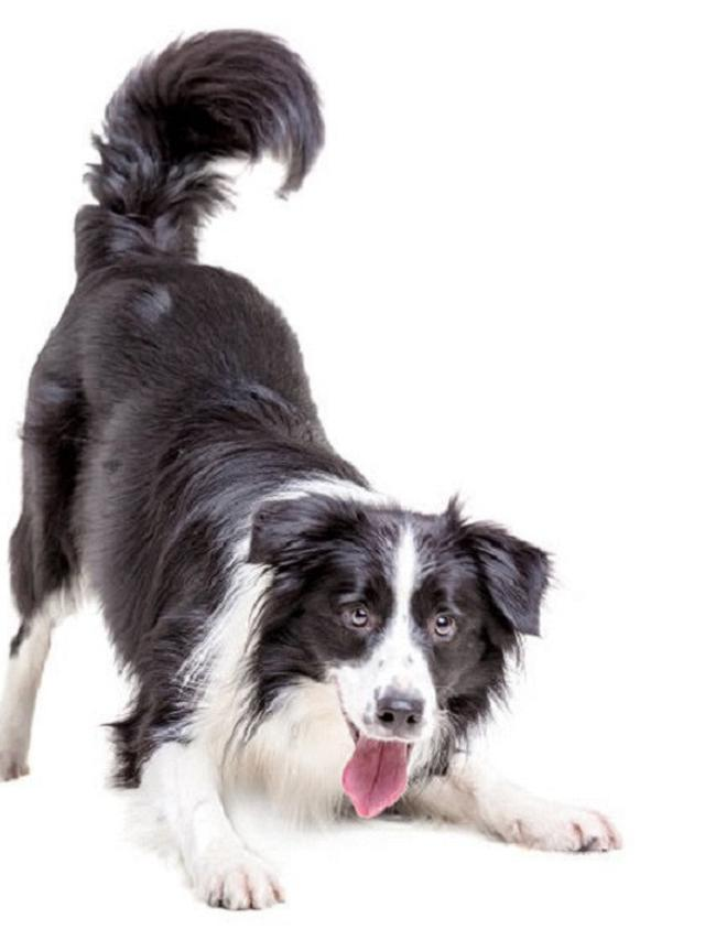 Anjing Border Collie