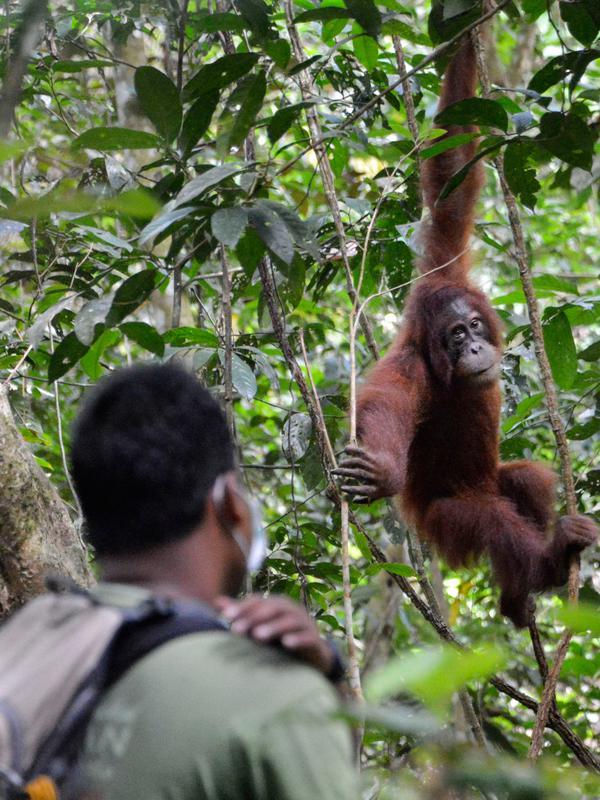 Orangutan bernama Elaine melihat ke arah penjaga hutan saat dilepasliarkan di Cagar Alam Hutan Pinus Jantho, Aceh Besar, Selasa (18/6/2019). Sebelum dilepasliarkan, orangutan dilatih agar menjadi liar. (CHAIDEER MAHYUDDIN/AFP)