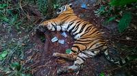 Harimau sumatra mati yang ditemukan di konsesi PT Arara Abadi yang merupakan anak perusahaan APP Sinar Mas. (Liputan6.com/M Syukur)