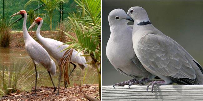 Brolga Crane dan Merpati Penyu | Foto: crocodilehunter & storify
