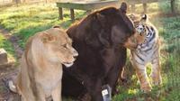 Beruang, singa, dan harimau ini hidup damai bersama.