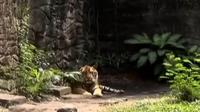 Kebakaran menghanguskan sebuah gudang kayu di kawasan Limo, hingga KBS mendapat seekor harimau Sumatera dari Taman Safari Prigen.