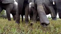Suatu kerumunan gajah terheran-heran dengan keberadaan kamera di tengah mereka.
