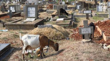 Kambing mencari makan di sekitar TPU Menteng Pulo, Jakarta, Selasa (9/10). Semakin berkurangnya lahan hijau menyebabkan peternak di Ibukota menggembalakan kambing tidak pada tempatnya. (Liputan6.com/Immanuel Antonius)