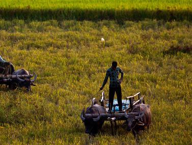 Potret Petani India Kala Bekerja di Sawah