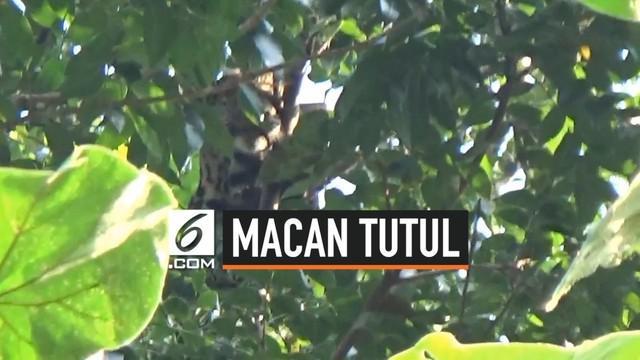 Seekor macan tutul tiba-tiba masuk ke wilayah permukiman di Tasikmalaya Jawa Barat. Hewan buas tersebut lalu diburu warga setempat.