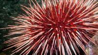 Landak Laut Merah (iStock)