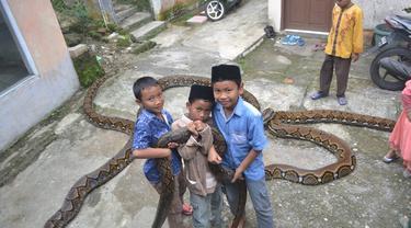 Bagi anak-anak, piton berbobot 300 kilogram adalah sahabat. (Foto: Liputan6.com/Muhamad Ridlo)