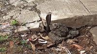 Seekor ular kobra muncul di antara retakan saluran air di sekitar area Rumah Sakit Umum Daerah Karawang, Selasa (31/12/2019). (Liputan6.com/ Abramena)