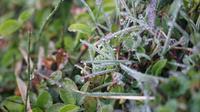 Buliran embun es tampak indah dan menawan. Namun bagi pemetik teh dan petani kentang, fenomena alam ini menjadi sebuah ancaman. (Liputan6.com/Huyogo Simbolon)