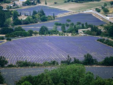 Ladang-ladang bunga lavender terlihat di kota Sault, Prancis selatan pada 8 Juli 2019. Layaknya hamparan luas karpet berwarna ungu, bunga lavender dipangkas rapi dan ditata sedemikian rupa. (Photo by Christophe SIMON / AFP)