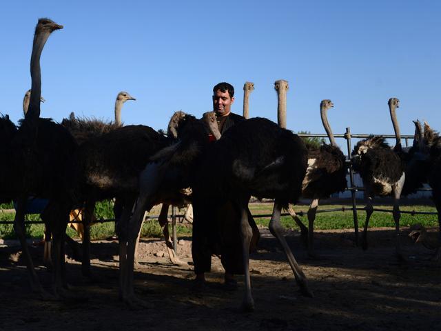 Mahal Dan Jarang Dimakan Burung Unta Jadi Menu Sahur Ramadan Di Negara Ini Ramadan Liputan6 Com