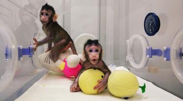 Gambar dari video tak bertanggal memperlihatkan dua monyet kloning, Zhong Zhong dan Hua Hua, berada dalam kandang di China. Mereka lahir dengan perbedaan waktu sekitar dua minggu namun memiliki genetik yang sama. (Handout/CHINESE ACADEMY OF SCIENCES/AFP)