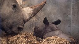 Badak putih yang baru lahir bersama induknya di kandang mereka di Kebun Binatang Kopenhagen, Denmark, Rabu (15/4/2020). Menurut organisasi Save the Rhino International, populasi badak putih tahun 2020 adalah antara 17.212 dan 18.915. (Niels Christian Vilmann/Ritzau Scanpix/AFP)