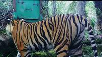 Sudah 40 hari lebih harimau Sumatera yang menerkam karyawati perkebunan sawit berkeliaran di Desa Tanjung Simpang, Kabupaten Indragiri Hilir, Riau. (Liputan6.com/M Syukur)