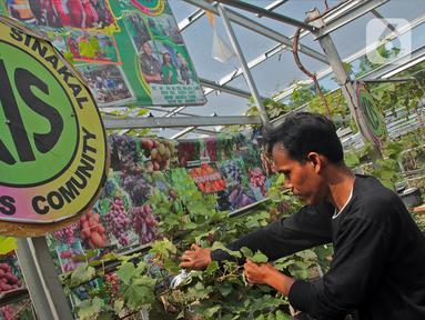 Petani yang tergabung dalam Komunitas Anggur Kebun Imut Sinakal memeriksa buah anggur di Kebun Imut Sinakal, Malakasari, Duren Sawit, Jakarta, Kamis (25/2/2021). Kebun yang dikelola swadaya oleh Komunitas Anggur Jakarta itu membudidayakan 90 jenis anggur. (Liputan6.com/Herman Zakharia)