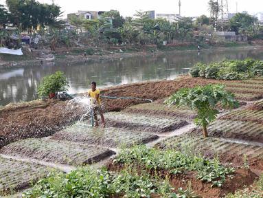 Warga menyiram sayur mayur yang ditanam di bantaran Kanal Banjir Barat, Jakarta, Jumat (5/10). Sayur mayur tersebut berupa kangkung, sawi, dan cabai. (Liputan6.com/Immanuel Antonius)