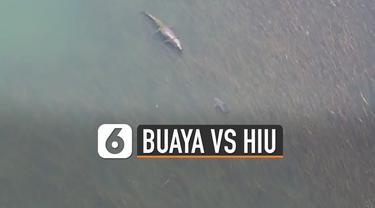 Kamera drone menangkap momen menakjubkan ketika buaya dan hiu berhadapan di laut.