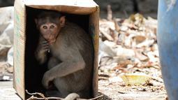 Seekor monyet duduk di dalam kardus untuk melindungi diri dari panas di Guindy Children's Park di Chennai (10/6/2019). Gelombang panas yang menyapu bagian utara dan barat India dengan suhu maksimum melonjak hingga 48 derajat Celcius ( 118 F) membuat para monyet kepanasan. (AFP Photo/Arun Sankar)