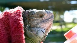 Kondisi seekor iguana yang kaku kedinginan dan dibungkus dengan selimut di Taman Nasional Everglades, Florida selatan, 6 Januari 2018. Sejumlah hewan ikut merasakan temperatur dingin ekstrem yang tengah melanda pesisir timur Amerika Serikat. (AP Photo)
