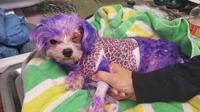 Violet saat terkapar tak berdaya gara-gara cat rambut manusia di sekujur tubuhnya. (Foto: Pinellas County Animal Services)