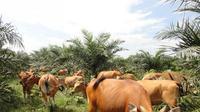 Beternak sapi menjadi salah satu primadona sebagian warga Jambi. (Liputan6.com/B Santoso)