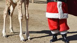 Seorang petugas berkostum Sinterklas kepada bayi jerapah bernama Fito sebagai bagian dari tradisi Natal di La Aurora Zoo, Guatemala City pada Kamis (19/12/2019). Hari Natal yang jatuh pada 25 Desember membuat sejumlah kebun binatang turut merayakannya dengan cara yang unik. (Orlando  ESTRADA/AFP)