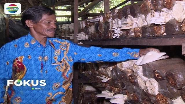 Desa Klasemelek, Sorong, Papua Barat jadi desa mandiri dengan budidaya jamur tiram berkat bantuan BUMDes pemerintah.