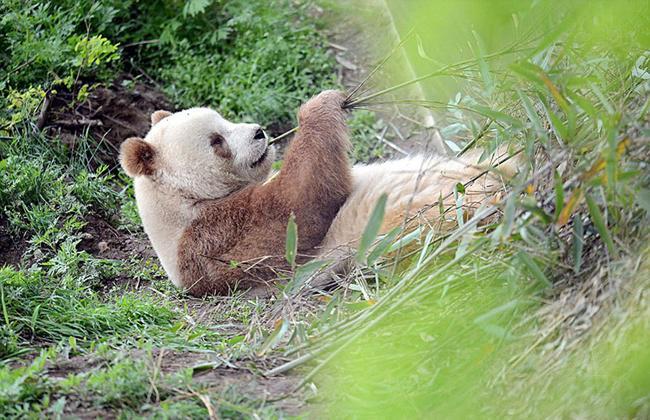 Qizai, satu-satunya panda dengan bulu warna cokelat di dunia | Photo: Copyright boredpanda.com
