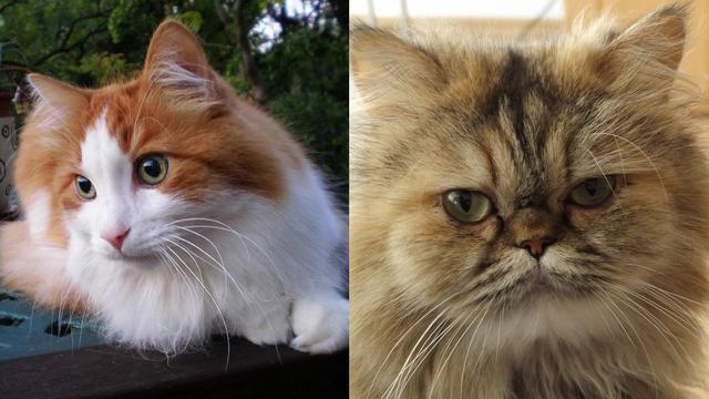 Cara Mengetahui Kucing Anggora Asli Dan Peranakan Campuran