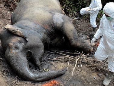 Gajah Berusia 25 Tahun Ditemukan Mati Keracunan di Aceh