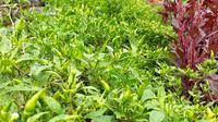 Cabai rawit yang dibudidayakan dengan sistem pertanian terpadu organik di Ponpes Rumbat Balong Ell Firdaus, Cilacap. (Foto: Liputan6.com/Muhamad Ridlo)