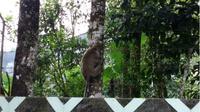 Kera ekor panjang yang turun sampai kantor Balai TNGM yang berjarak 8 kilometer dari puncak Merapi. (KRJogja.com/Atiek WH)