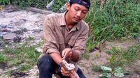 King kobra peliharaan Amar masih bertaring dan beracun. Foto: (M Syukur/Liputan6.com)