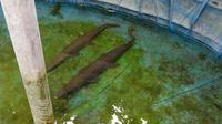 Dua ekor ikan aligator sudah dipindahkan dari kolam di Lapas Perempuan Bandung. (Liputan6.com/Huyogo Simbolon)