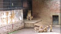 Empat ekor anak singa kembali lahir di Taman Cikembulan, Garut, Jawa Barat, total delapan ekor singa menghuni Taman Cikembulan. (Liputan6.com/Jayadi Supriadin)