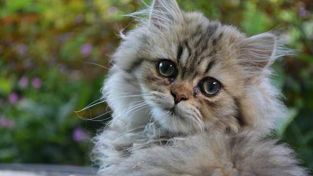 Makanan Kucing Persia Yang Bagus Untuk Bulu Perhatikan Kandungan