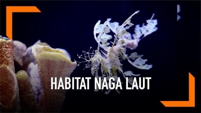 Sebuah akuarium di California membangun habitat naga laut yang diyakini merupakan terbesar di dunia. Naga laut merupakan hewan hanya ada di perairan Australia.