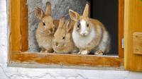 Ciri-ciri kelinci (Sumber:pixabay)