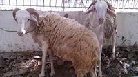 Sedikitnya enam orang dari KMP Biologi dikerahkan untuk membantu proses pemotongan, pengemasan paket dan pendistribusian daging qurban