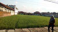 Lahan persawahan terhimpit di antara pemukiman padat penduduk di Kota Malang, Jawa Timur (Liputan6.com/Zainul Arifin)