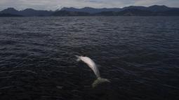 Seekor lumba-lumba abu-abu ditemukan mati mengapung di Teluk Sepetiba, 72 kilometer dari Rio de Janeiro, Brasil, Kamis (11/1). Jumlah kematian hewan mamalia ini mencapai 10 persen dari total populasi lumba-lumba yang hidup di kawasan itu. (AP/Leo Correa)