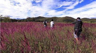 Hanya di Bulan Mei, Hamparan Lembah Baliem Berubah Warna Ungu