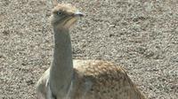 Burung bustard houbara. (Wikimedia)