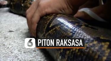 Sekelompok Petani di Indonesia berusaha keras untuk mengeluarkan seekor Piton yang terjebak di selokan. Butuh waktu sekitar 15 menit untuk mengeluarkan piton yang berukuran raksasa tersebut.